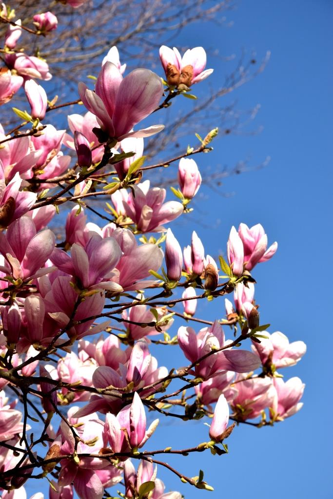Magnolien / Magnolia / Blue Sky / Frühling / Spring
