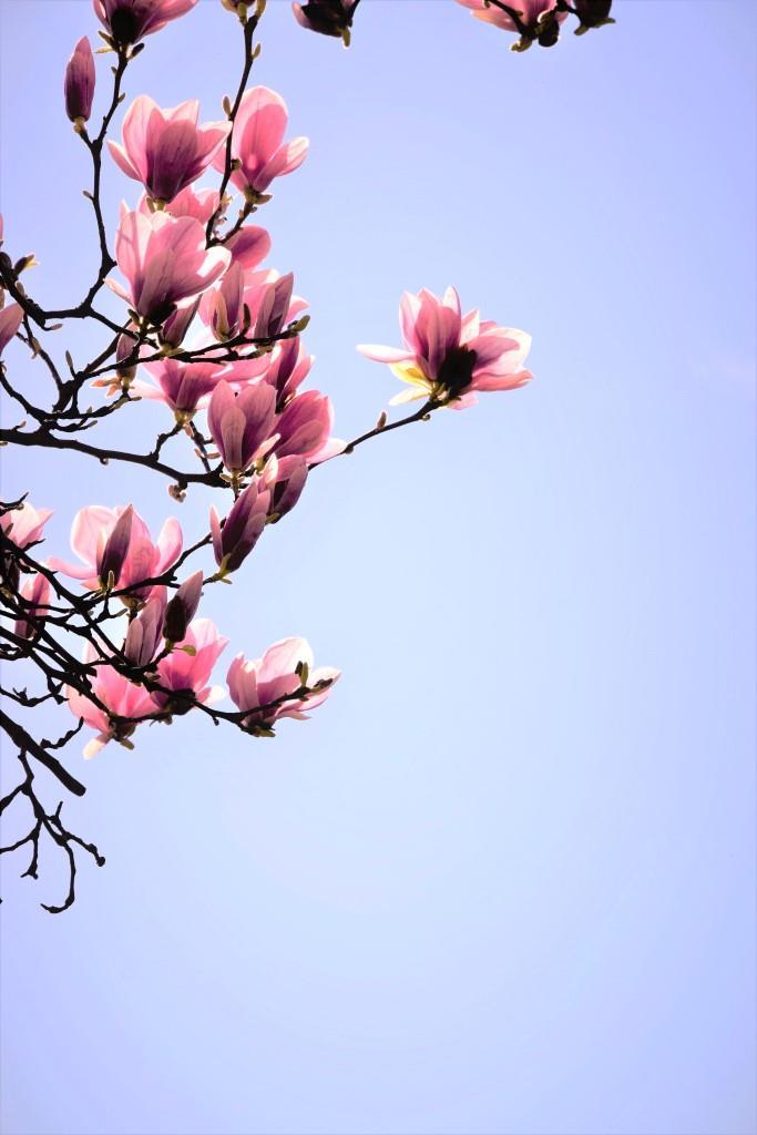 Magnolien / Magnolia / Frühling / Spring - Unterfreundenblog No Bake Cheesecake Rhabarber