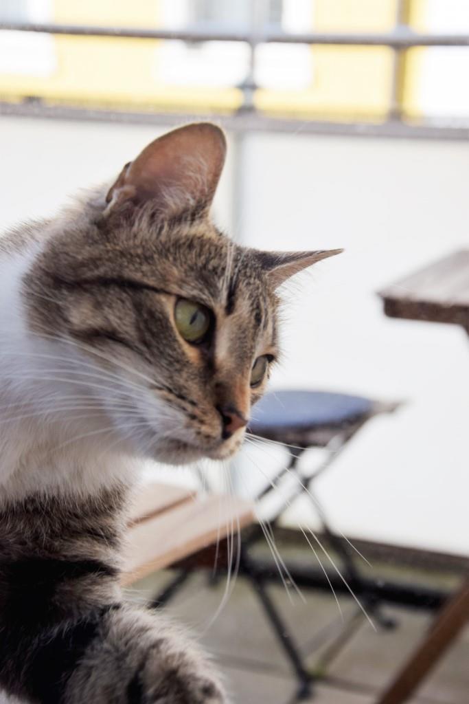 Kater Snoopy in Spiel- und Kuschellaune - im Katzencafé Karlsruhe