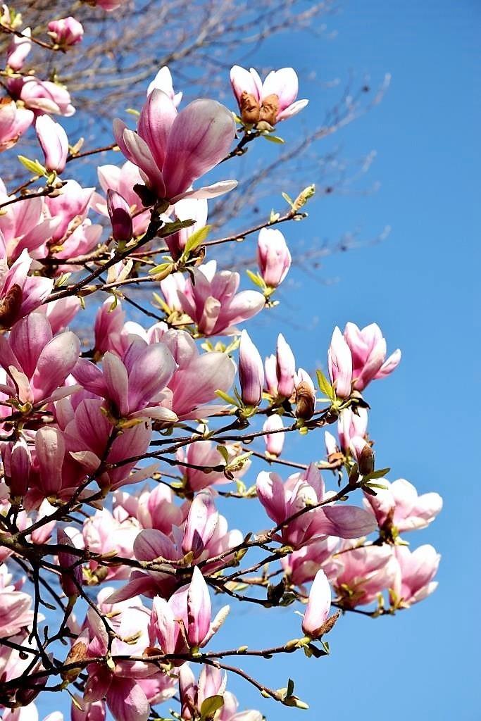 Magnolia-Season!