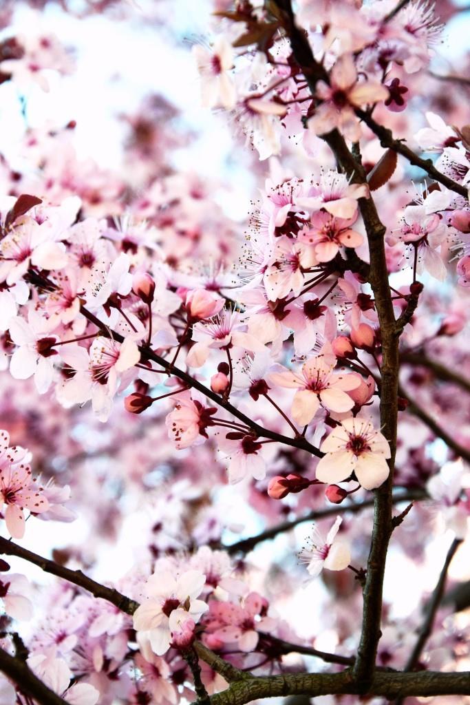 Frühling in Pastell - Kirschblüten in rosé