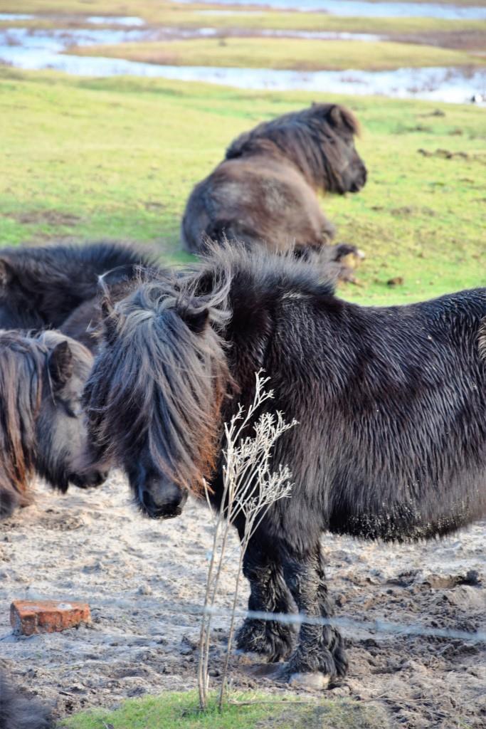 Pferde auf der Weide - Zeeland