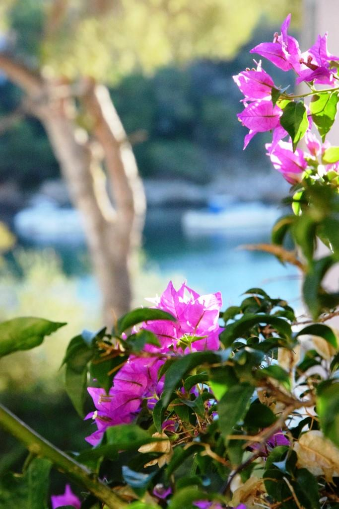 Bougainvillea, die pinkfarbenen Blüten des Südens, im Hintergrund das blaue Meer