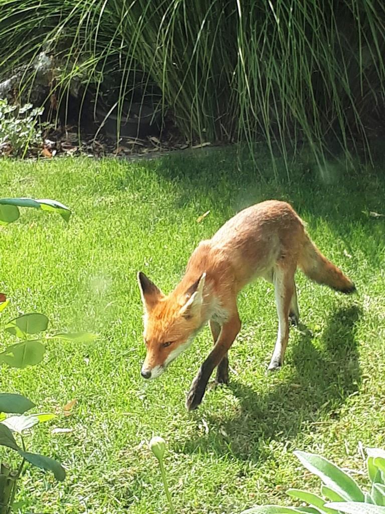 Fuchs Garten Sommer