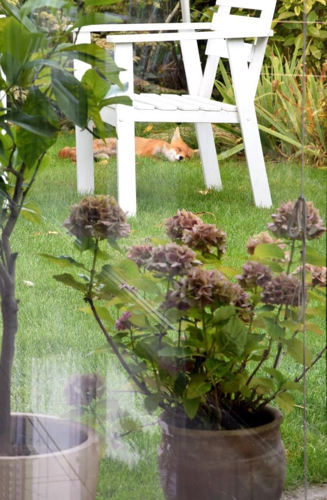 Fuchs schläft im Garten