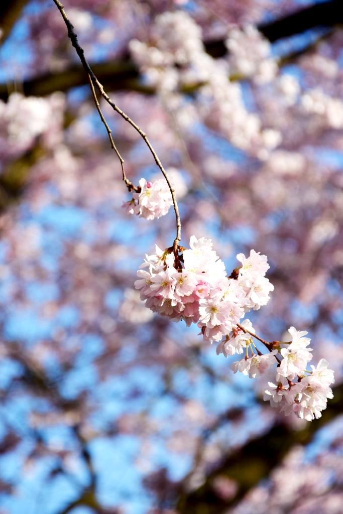 Frühling Kirschbaum Rosa