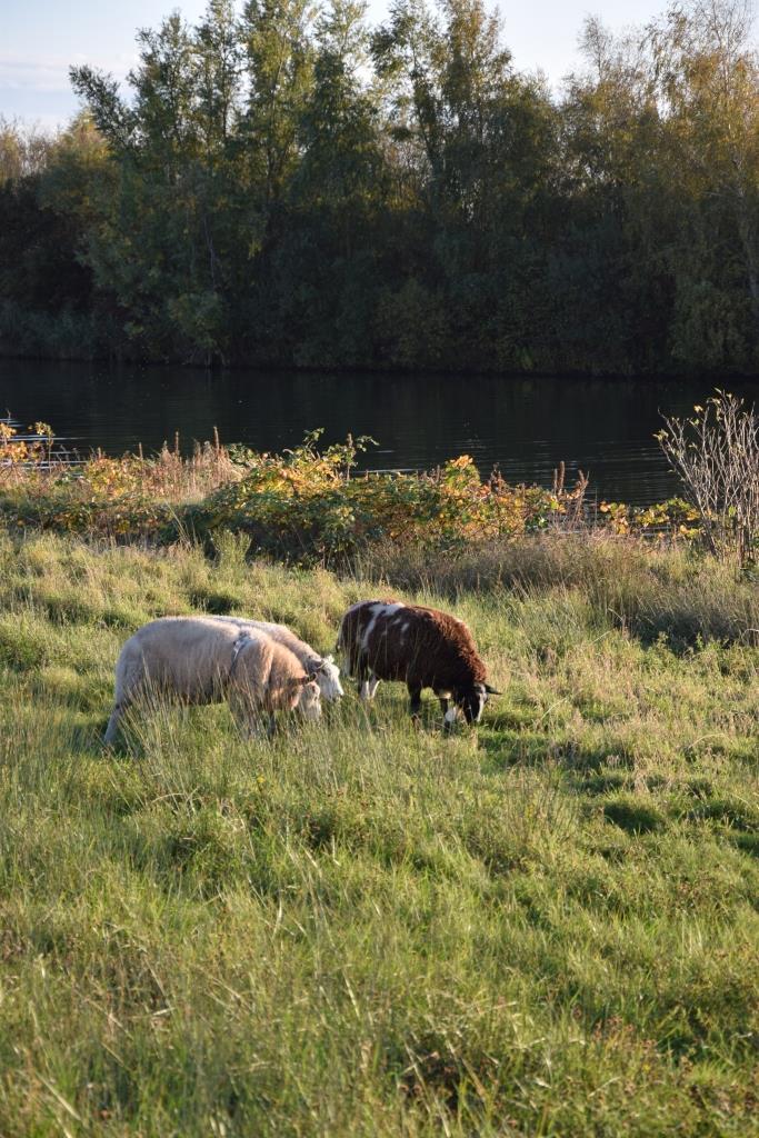 Schafe Herbst Holland