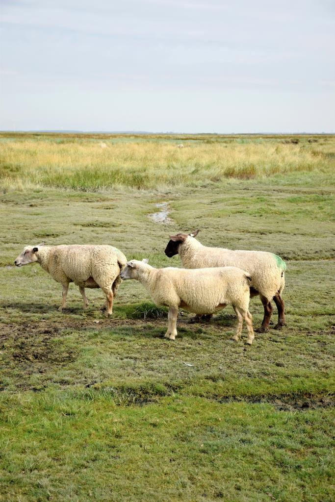Schafe im Verdronken Land Zeeland